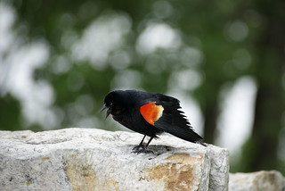 Red Winged Blackbird | by susanvg