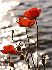 poppy amapola