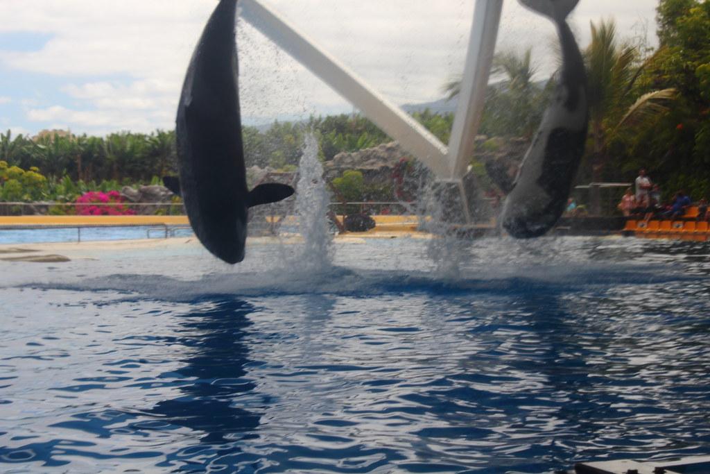 Killer Whale Orca Loro Park Tenerife John Pelpa Flickr