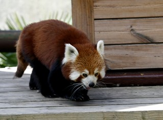 Red Panda | by ajwalters
