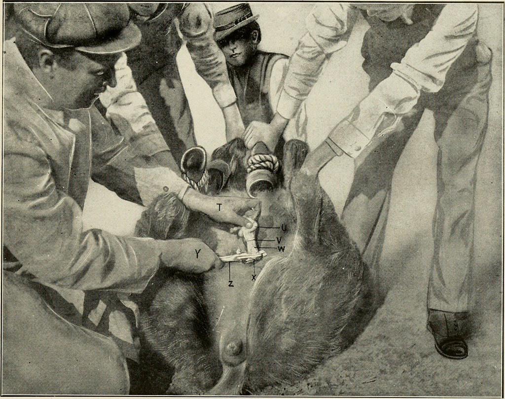 Image From Page 50 Of Animal Castration A Book For The Flickr