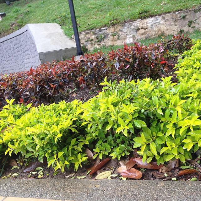 Las durantas rastreras (verde limón) y las durantas rojas,… | Flickr