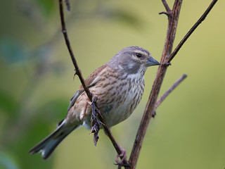 Lady Linnet | by Tony McLean