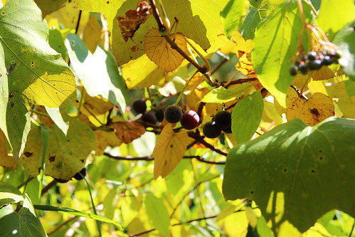 wild harvesting :: concord grapes | by Gypsy Forest