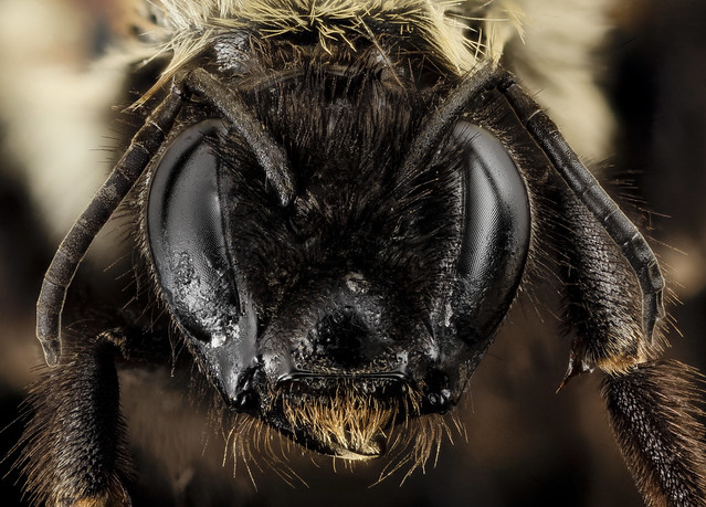 Bombus affinis, F, face, big sky meadows, virginia_2014-09-22-17.57.06 ZS PMax