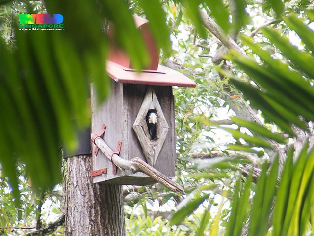 Oriental pied-hornbill (Anthracoceros albirostris)