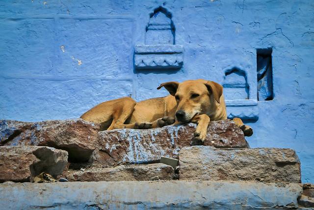 A dog relaxing on the street, Jodhpur, India ジョードプル 青い家の前でくつろぐ犬