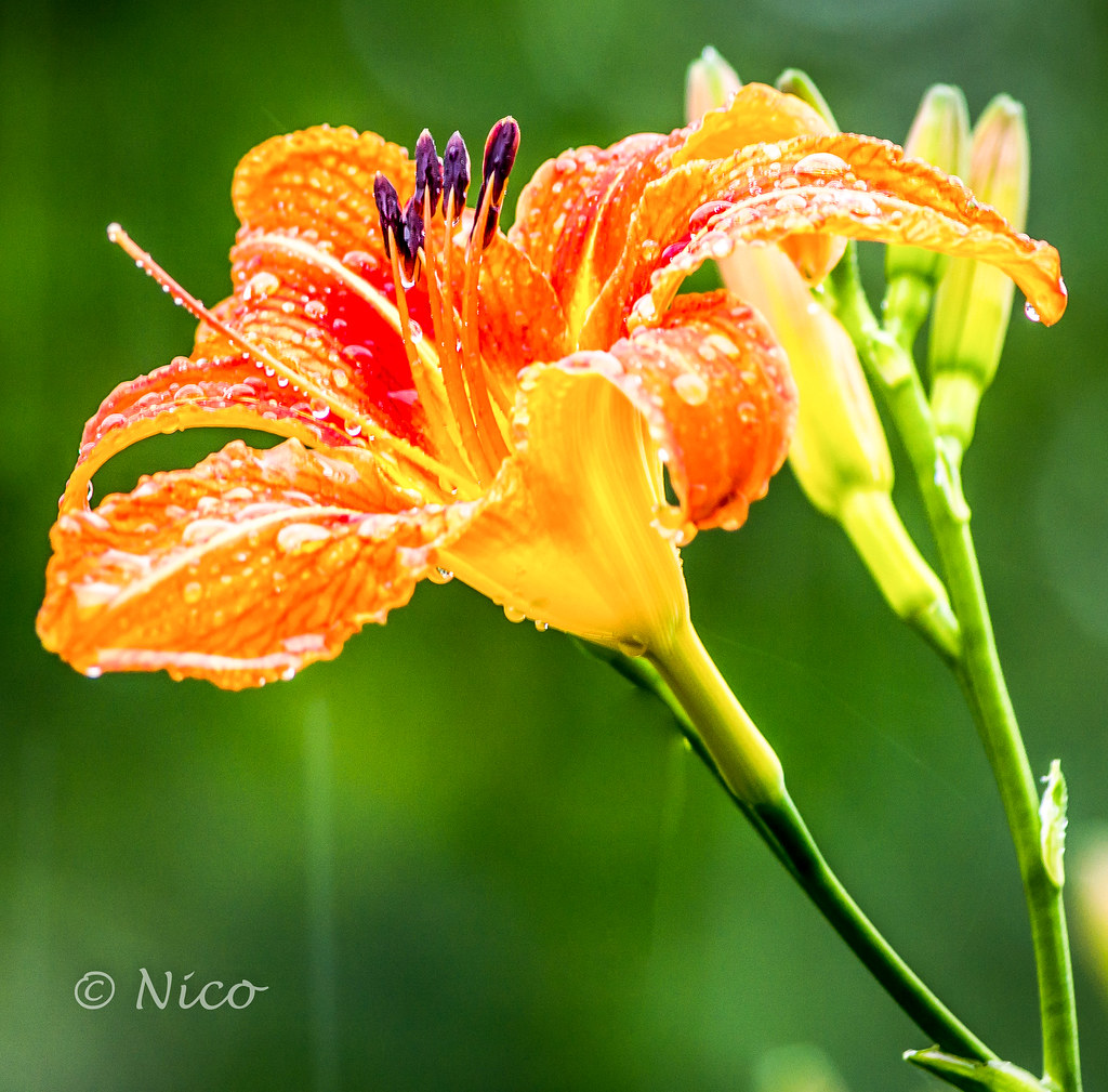 Flower tiger lily finally in bloom on this very wet canad flickr flower tiger lily finally in bloom on this very wet canada day dsc6145 fleur izmirmasajfo