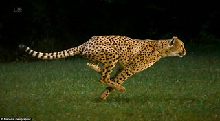cheetah-running | by tnssofres