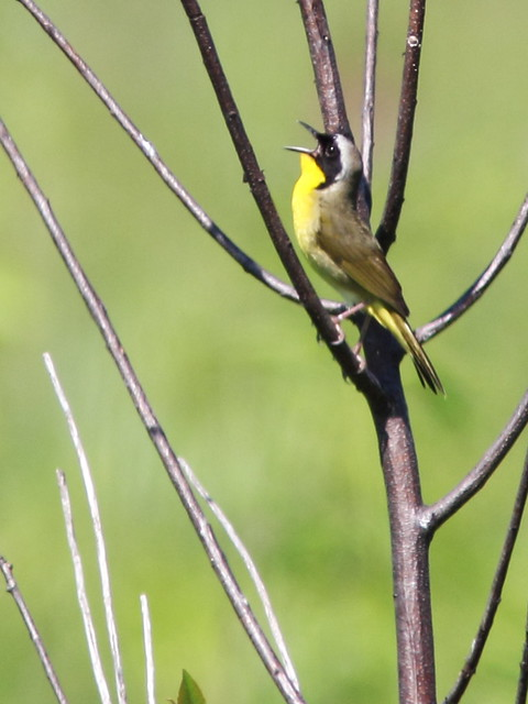 Common Yellowthroat 6-20140704