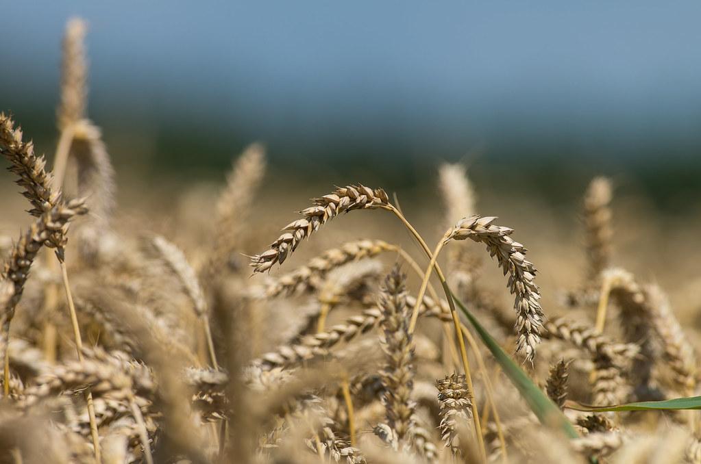 Bildergebnis für Weizen