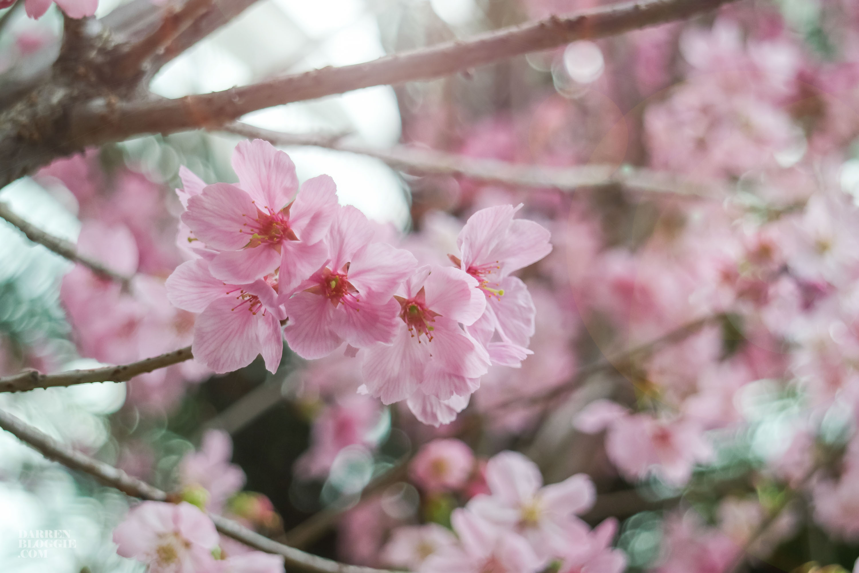 blossom-bliss-cherry-blossom-at-gardens-by-the-bay-darrenbloggie-1