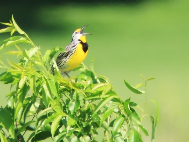 Eastern Meadowlark 2-20140608