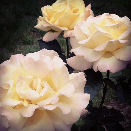 In just days, Peace has multiplied.  :). #peace #roses. I so needed to see this. | by neoma vasilia