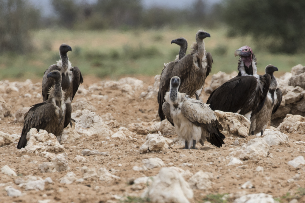 Lappet-faced Vulture  Torgos Tracheliotus