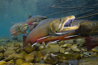Bull trout | by USFWS Pacific