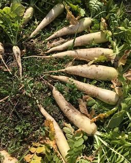 方領だいこん。  大根はこれが好き。  立派なのが出来てます。  一番良い出来の4本を植え戻して種を採ります。  #家庭菜園 #自家採種 #固定種