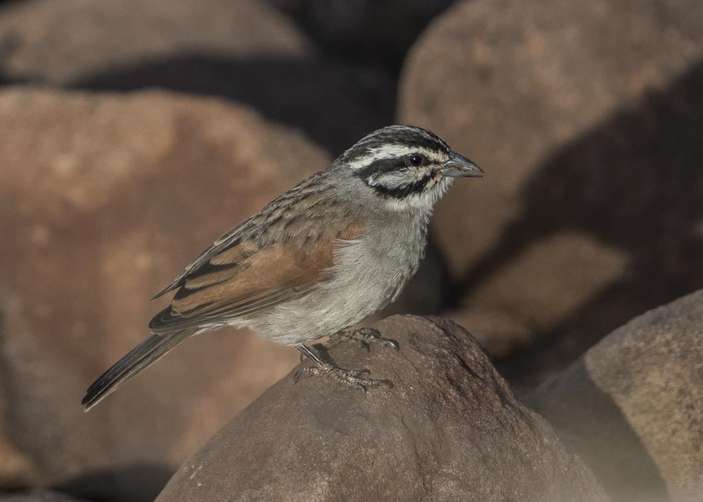 Cape Bunting  Emberiza Capensis