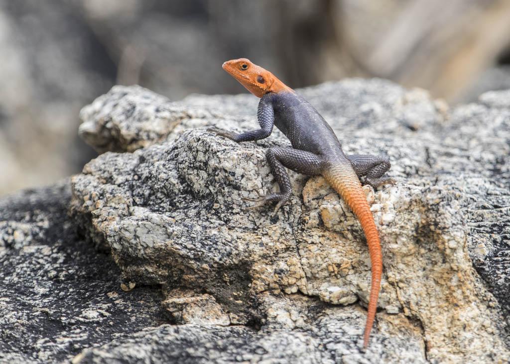 Adoma Lizard  Namibia