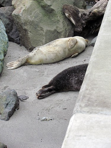Seal pups in Edmonds