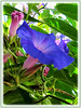 Ipomoea indica (Morning Glory, Blue Morning Glory, Oceanblue Morning Glory, Blue Dawn Flower)