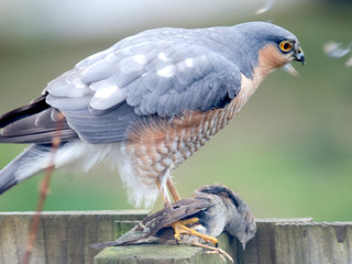 Sunday lunch - sparrowhawk