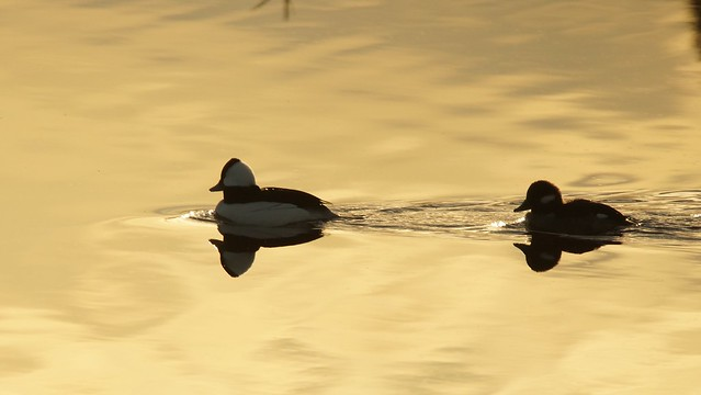 Buffleheads silhouetted as the sun sets