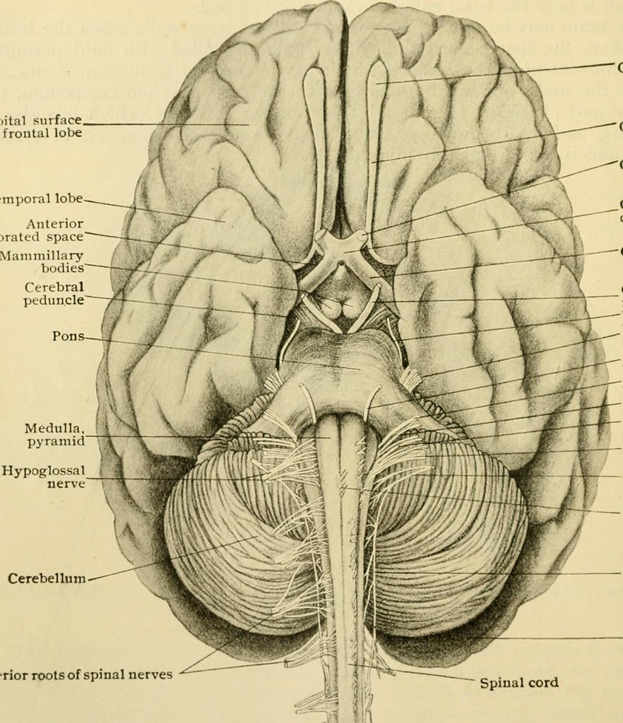 Image From Page 239 Of Human Anatomy Including Structure Flickr