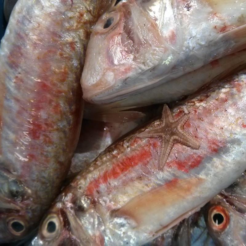 salmonete y estrella de mar