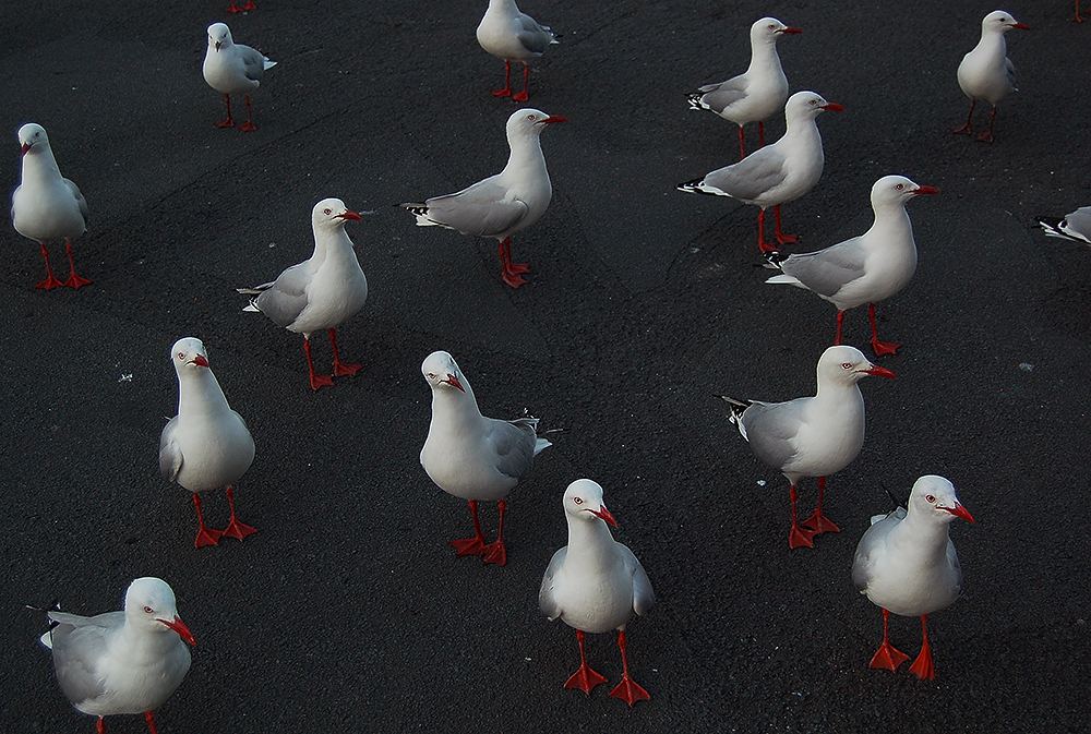 _Hobart_seagulls_