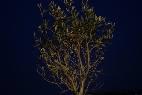 Olive Tree | by SamM Photography