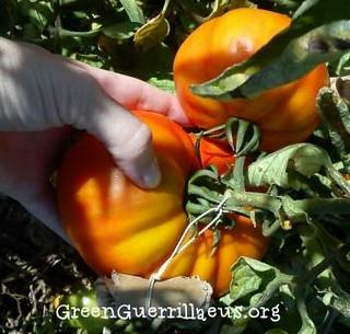 tomate de la huerta