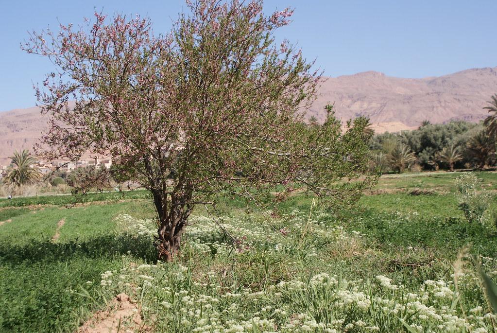 Pêcher en fleur dans la vallée du Tinghir au Maroc.