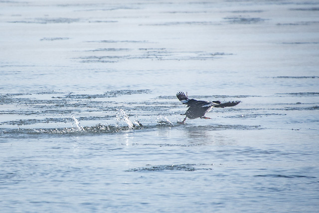 Goldeneye taking off