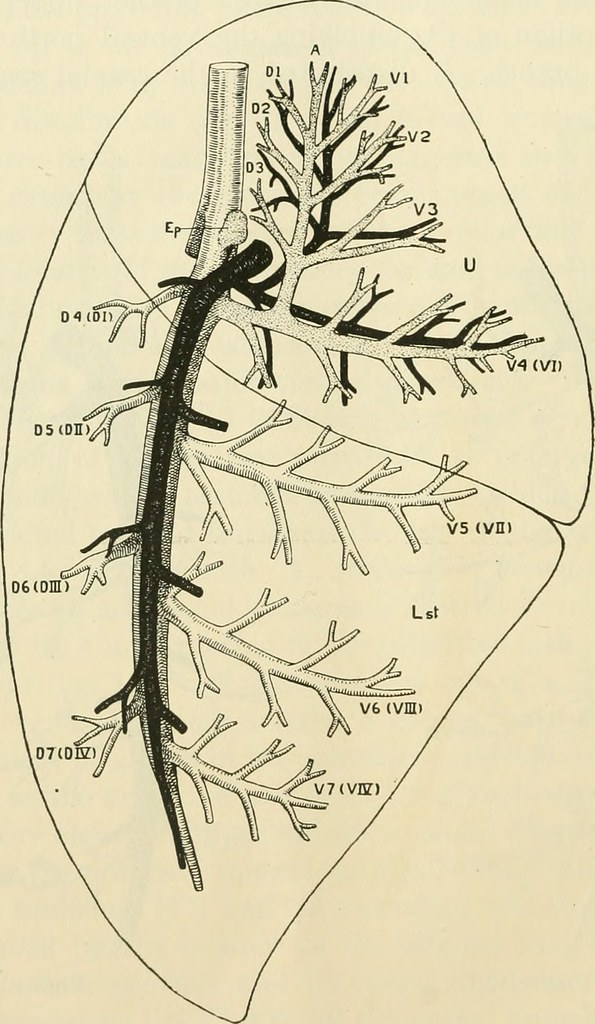 Image From Page 185 Of The American Journal Of Anatomy Flickr