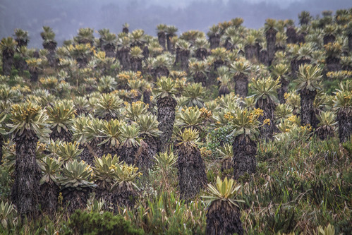 Frailejones on the Páramo de Puracé | by The Colombian Way