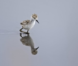 Black-necked Stilt chick | by pattymcgann