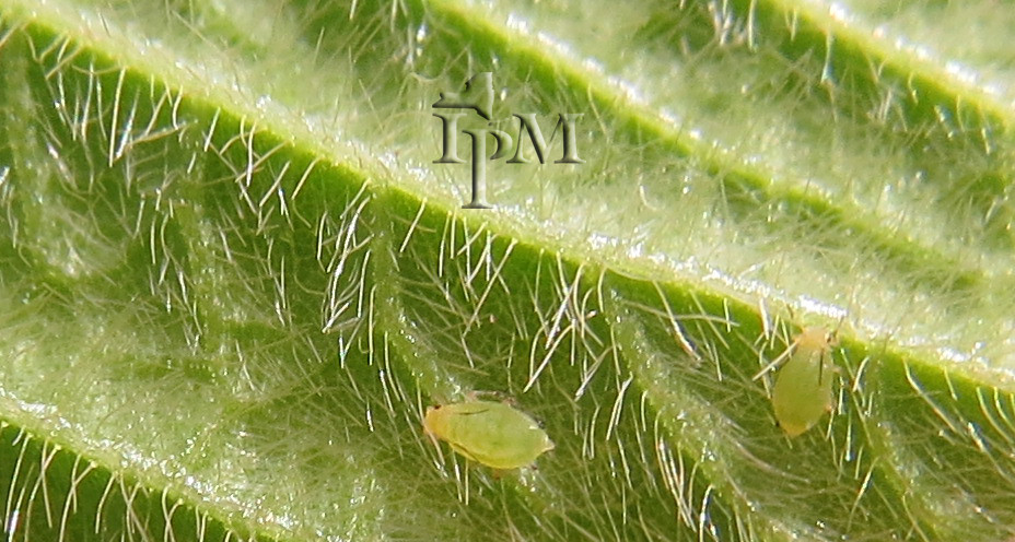 Asian soybean aphid