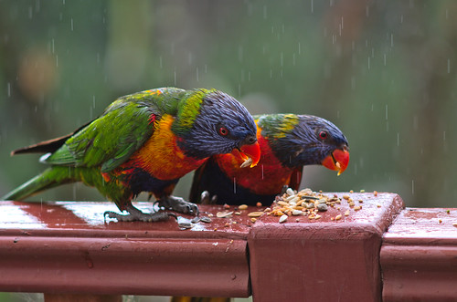 Lorikeet pair (LZ) | by Occasionally Focused