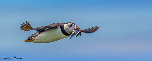 Puffin | by www.craigrogers.photography