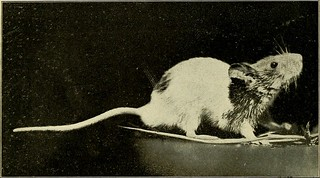 "Image from page 6 of ""The dancing mouse : a study in animal behavior"" (1907) 