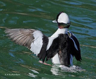 Bufflehead drake - 6 | by keithricflick