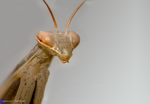 Mantide Religiosa, praying mantis | by Massimiliano Benvenuti