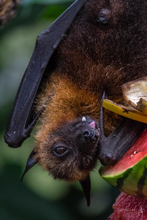 Flying fox | by der LichtKlicker