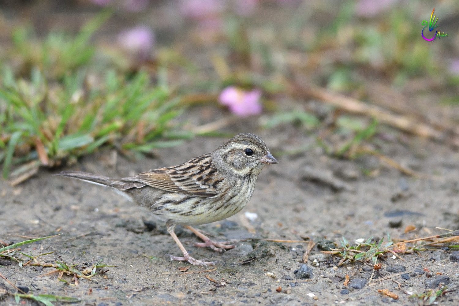 Black-faced_Bunting_7605