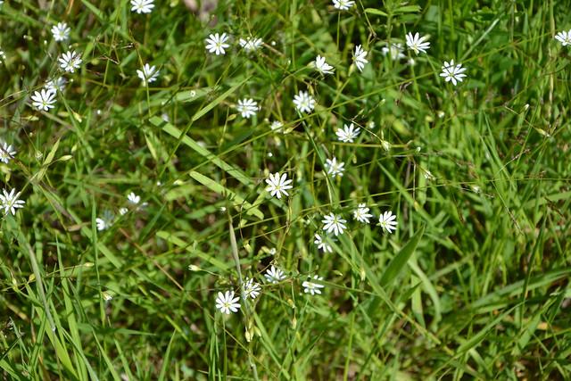 Stellaria graminea 14179465457_5221f06b75_z