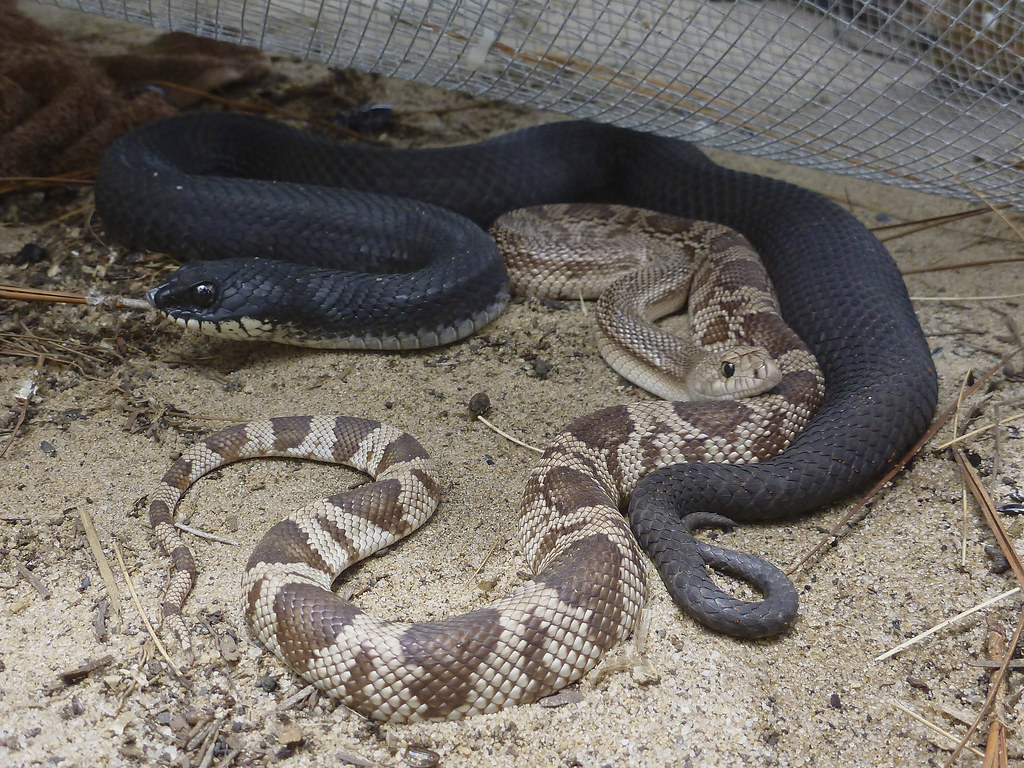 snakes in box trap an immature florida pine snake and an a flickr