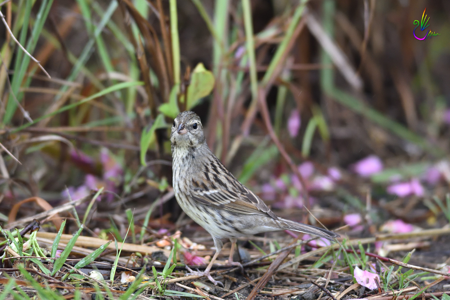 Black-faced_Bunting_7664