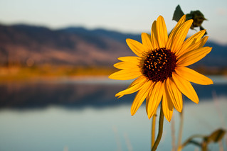 Sunflower | by O.S. Fisher