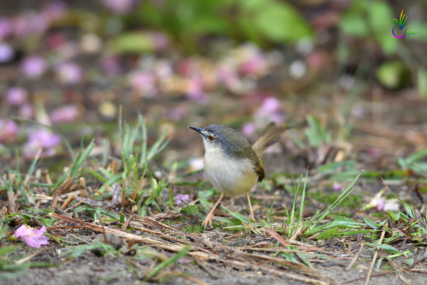 Yellow-bellied_Prinia_7353